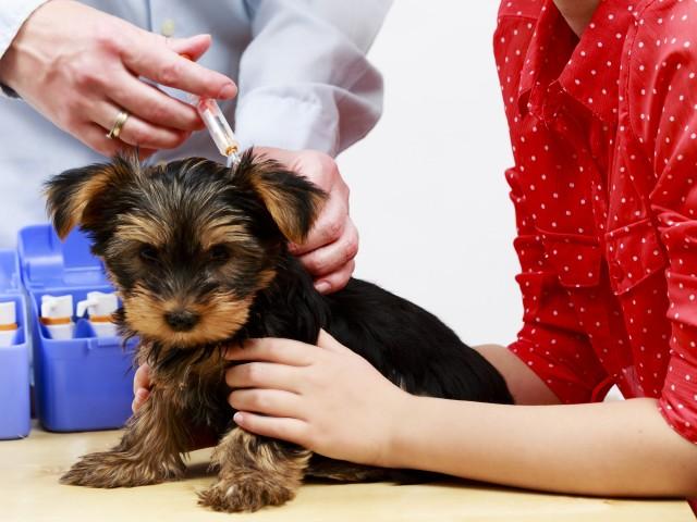 Quais vacinas seu cachorro precisa tomar?