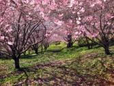 Festa da Cerejeira em Flor de Campos do Jordão!