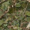 Pitanga Folha