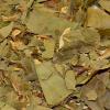 Abacate Folha
